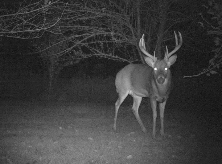 Photo of a deer through night vision